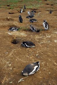Penguines5