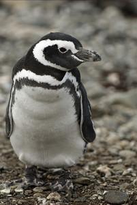 A Magellanic penguin of Magdelana Island, Chile