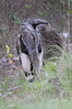 The Giant Anteater, Myrmecophaga tridactyla, is the largest species of anteater.