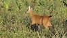 Marsh Deer, Blastocerus dichotomus