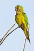 Peach-fronted Parakeet (Aratinga aurea)