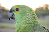 Blue-fronted Amazon (Amazona aestiva), also called the Turquoise-fronted Amazon and Blue-fronted Parrot