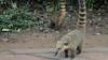 South American Coati, or Ring-tailed Coati (Nasua nasua), Iguazú National Park (Argentina)
