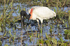 "Jabiru (Jabiru mycteria)  The name comes from the Tupi-Guaraní language and means ""swollen neck""."