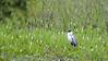 Cocoi Heron (Ardea cocoi)