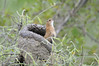 """Rufous Hornero (Furnarius rufus) builds a large thick clay """"oven"""" nest placed on a tree, or more recently on man made structures such as fenceposts, telephone poles or buildings."""