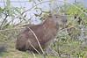 Capybara (Hydrochoerus hydrochaeris )