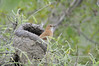 "Rufous Hornero (Furnarius rufus) builds a large thick clay ""oven"" nest placed on a tree, or more recently on man made structures such as fenceposts, telephone poles or buildings."