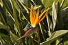 Bird of Paradise (Strelitzia reginae) at the Panamby Hotel