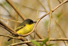 Common Tody-Flycatcher or Black-fronted Tody-flycatcher, Todirostrum cinereum.  Our first indigeous bird sighting in Brazil