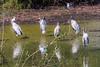 Wood storks (Mycteria americana) and Snowy egrets (Egretta thula)