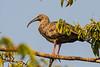 Plumbeous ibis (Theristicus caerulescens)