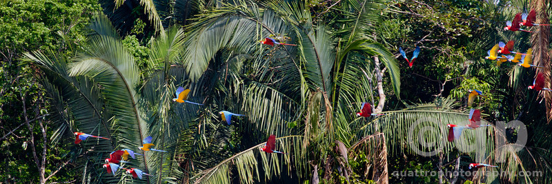 MACAWS IN FLIGHT ACROSS THE FOREST