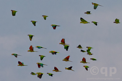 PARROTS IN FLIGHT 3