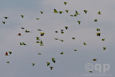 PARROTS IN FLIGHT 4