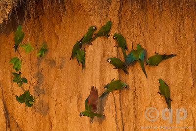 PARROTS ON CLAY LICK 3