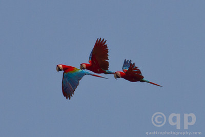 TRIPLET MACAWS IN FLIGHT