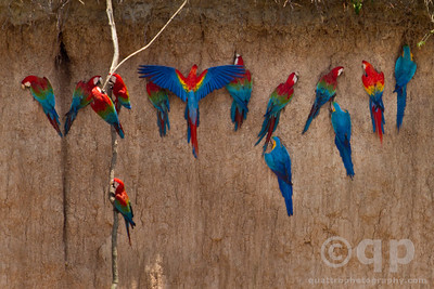 SCARLET MACAW WINGS SPREAD ON CLAY LICK