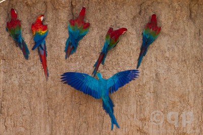 BLUE AND GOLD MACAW WINGS SPREAD