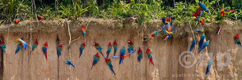 MACAWS ON THE CLAY LICK 1