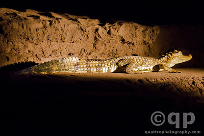 WHITE CAIMAN AT NIGHT