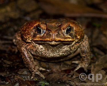 KING TOAD PORTRAIT
