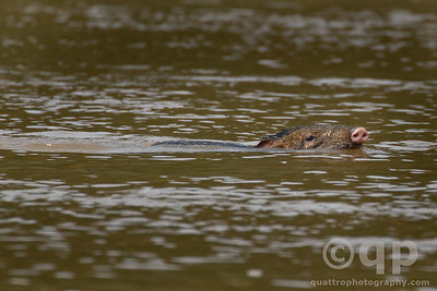 PECCARY OUT FOR A SWIM