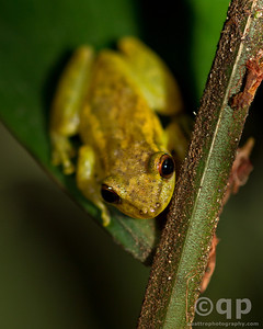 YELLOW TREE FROG 2