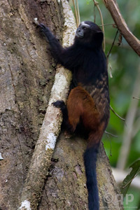 SADDLE BACKED TAMARIN CLIMBING A TREE