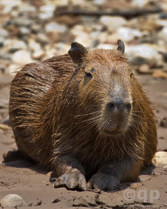 CAPYBARA ON THE RIVER BANK