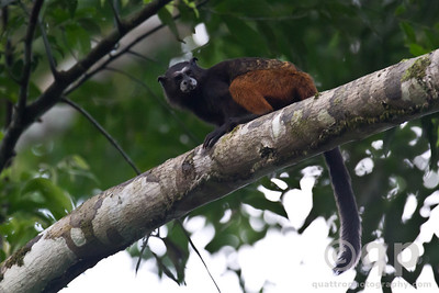 SADDLE BACKED TAMARIN