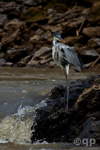 HERON ON THE RIVER BANK