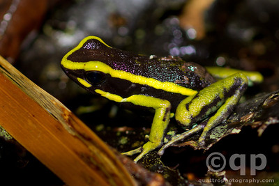 YELLOW-STRIPED POISON DART FROG 2