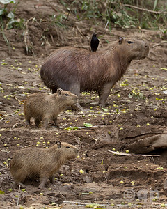 CAPYBARAS AND BIRD