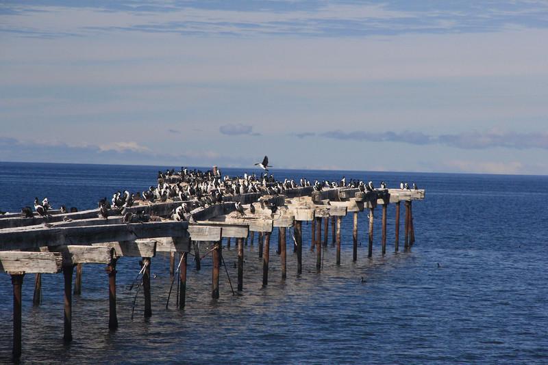 Austral Cormorants (not Penguins), Punta Arenas, Chile