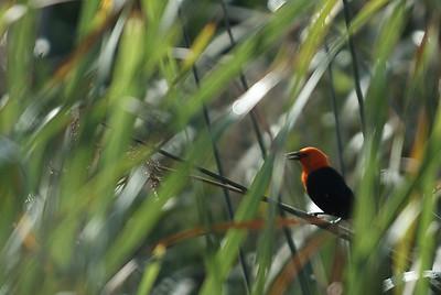 RedheadedBlackbird