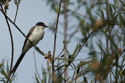 Forked-tail flycatcher photographed in Buenos Aires