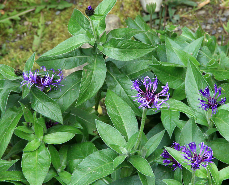 Greater Blue Bottle (Centaurea montana)