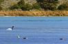 Black Necked Swan, Tierra del Fuego NP (1080 Lrgx4