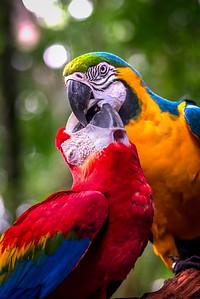 Macaw Kiss