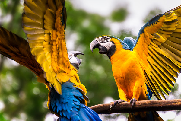 Squabbling Macaws