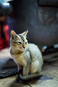 A house cat at a farmhouse in the Phobjikha Valley