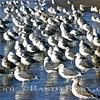 Mirror Gulls.~<br /> Taken:1-18-11