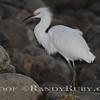 Snowy Egret.~<br /> Taken: 10-4-11
