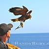 Scott Timenson and his Harris Hawk.    Terranea Resort, Palos Verdes, Ca.<br /> Taken: 4/26/13
