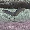 Egret Dance.~<br /> 3-26-12
