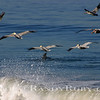 Surf-Pelicans & A Dolphin~