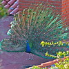 Peacock on Roof.   Palos Verdes.<br /> 5/1/15