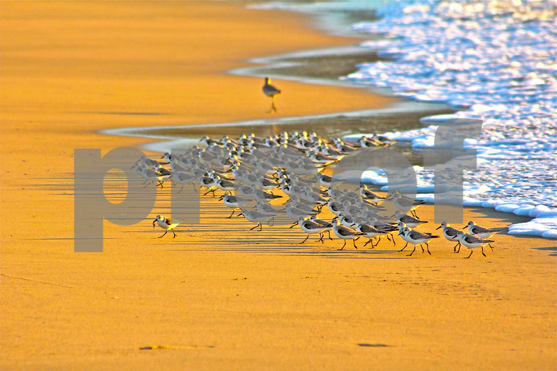 Sanderlings at Sunset.  3/1/13