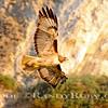 Rat Beach Hawk~